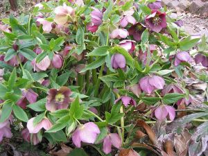 Hellebores - proving a handful